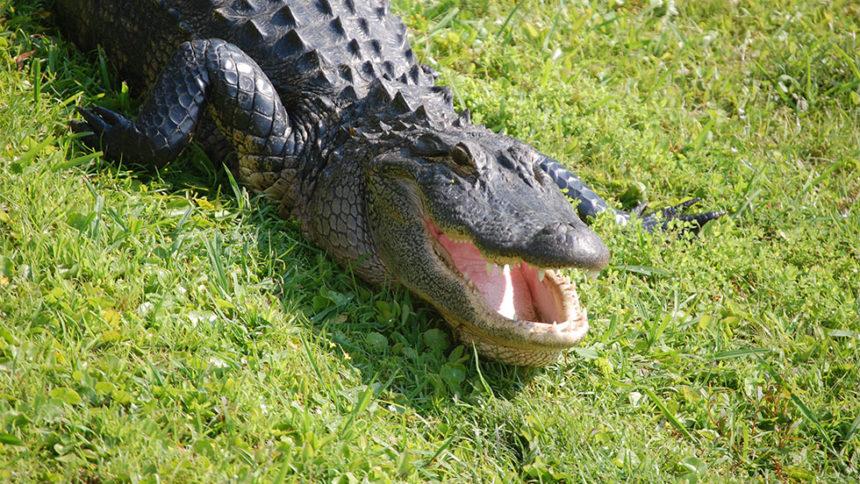 Οι Αλιγάτορες αντικαθιστούν τα απωλεσθέντα δόντια τους